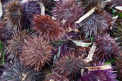 A species of sea urchin, purple sea urchin. Paracentrotus lividus, a species of sea urchin, purple sea urchin closeup Royalty Free Stock Images