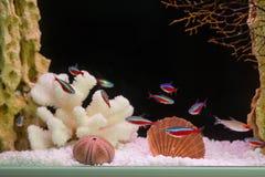 Paracheirodon axelrodi, flock (Красный неон, стая. Photo of exotic fish in home aquarium Stock Photo