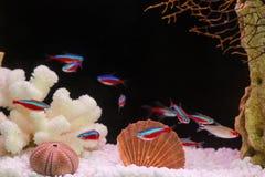 Paracheirodon axelrodi, flock (Красный неон, стая. Photo of exotic fish in home aquarium Stock Image