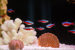 Paracheirodon axelrodi, flock (Красный неон, стая. Photo of exotic fish in home aquarium Royalty Free Stock Photos