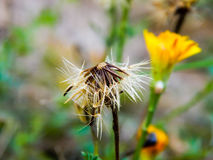 Parachutes of the dandelions after the rain Royalty Free Stock Photography