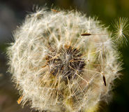 Parachutes de graine de pissenlit de fleur Photos libres de droits