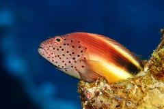 Paracirrhites forsteri, pesce della scogliera Immagini Stock Libere da Diritti