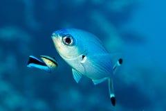 Paracirrhites forsteri, pesce della scogliera Immagine Stock