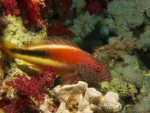 Paracirrhites Forsteri Popiera hawkfish fotografia royalty free