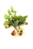 Paracress amarillo y marrón Fotografía de archivo libre de regalías