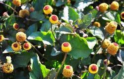 Paracress (oleracea de Acmella) Fotografía de archivo