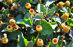 Paracress (oleracea de Acmella) Fotografia de Stock