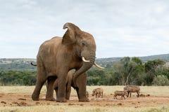 Parada aprovada que toma fotos do elefante africano de Bush imagens de stock