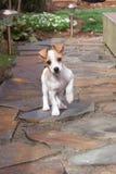 Parada do filhote de cachorro Imagem de Stock Royalty Free