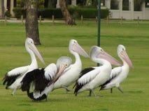 Parada do pelicano Fotografia de Stock