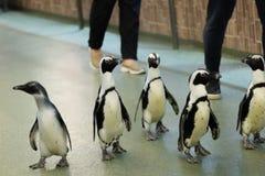 Parada dos pinguins no pavilhão da casa do pássaro no jardim zoológico de Moscou fotografia de stock royalty free