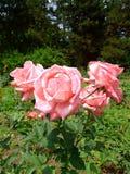 Parada Rosa Imagens de Stock Royalty Free