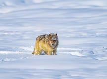 Paradas do chacal a descansar após a corrida através da neve profunda fotografia de stock royalty free