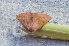 Paradas marrons vermelhas bonitas da borboleta a descansar fotografia de stock