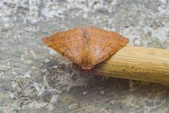 Paradas marrons vermelhas bonitas da borboleta a descansar imagem de stock royalty free