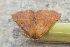 Paradas marrons vermelhas bonitas da borboleta a descansar fotos de stock