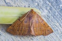 Paradas marrons vermelhas bonitas da borboleta a descansar fotografia de stock royalty free