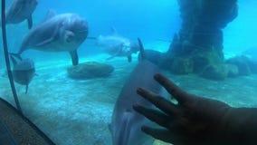 Paradas y miradas agradables del delfín de bottlenose en la persona que se mueve la mano en Seaworld almacen de video