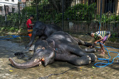 Parade elephants being washed prior to the Esala Perahera at the Temple of the Sacred Tooth Relic complex in Kandy, Sri Lanka. Stock Photo