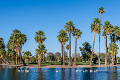 Parade of Geese on Encanto Lake Royalty Free Stock Images