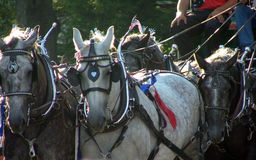 Parade Horses. Percheron horses at 4th July parade Stock Photo