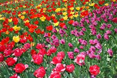 Parade of tulips in the botanical garden. stock photography