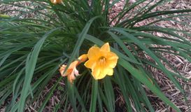 Paradies-Bucht-Gelb Daylily Stockbild