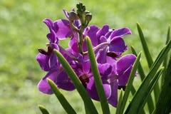 Paradiesbasisrecheneinheiten. Orchideen von Borneo. Stockfotos