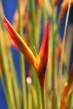 Paradiesvogel Stockbild