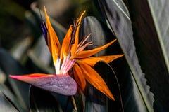 Paradiesvogel Blume Stockbild