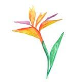 Paradiesvogel Blume, Aquarell Stockbild