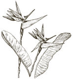 Paradiesvogel Blume in der Skizzenart Stockbilder