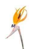 Paradiesvogel Blume, Strelitzia Lizenzfreie Stockbilder