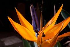 Paradiesvogel flowerr in der hohen Blüte lizenzfreies stockbild