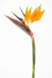 Paradiesvogel II Stockfoto