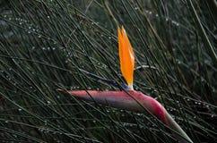 Paradiesvogel singend im Regen Lizenzfreie Stockfotos