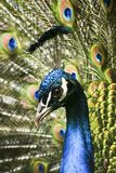 Paradiesvogelpfau Lizenzfreies Stockfoto