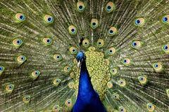 Paradiesvogelpfau Lizenzfreie Stockbilder