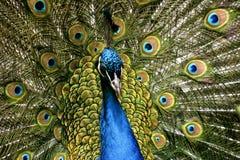 Paradiesvogelpfau Lizenzfreie Stockfotografie