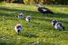 Paradijs shelduck met eendjes op vers gras Stock Afbeeldingen