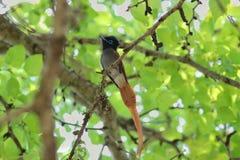 Paradijsvliegenvanger Royalty-vrije Stock Foto