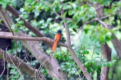Paradijsvliegenvanger Stock Foto
