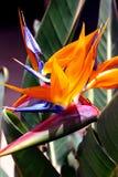Paradijsvogel Royalty-vrije Stock Afbeeldingen