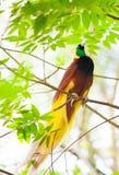 Paradijsvogel Stock Foto