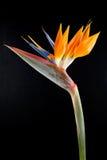 Paradijsvogel royalty-vrije stock afbeelding