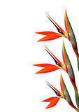Paradijsvogel bloem 123 Stock Afbeeldingen
