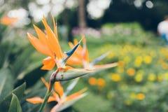 Paradijsvogel bloem op groene achtergrond Stock Afbeeldingen