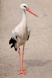 Parading stork. Stork taking a stroll stock photography