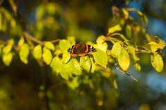 Paradis d'amiral de papillon - atalanta de Vanessa Photos libres de droits